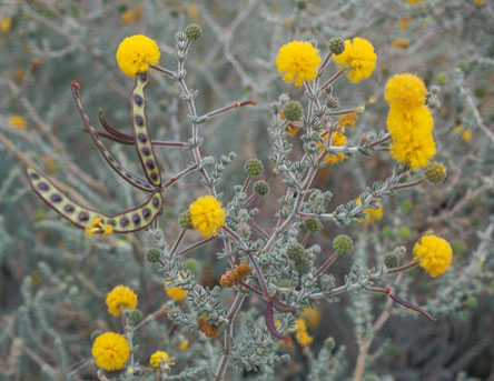 Flowering branch of Acacia adoxa var. adoxa