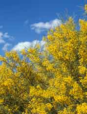 Acacia anthochaera in flower
