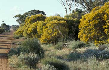 A roadside population of Acacia anthochaera