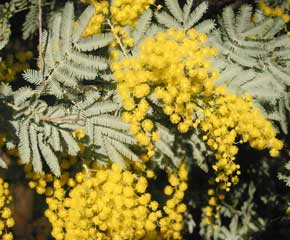 Flowers of Acacia baileyana (Cootamundra Wattle)