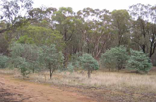 Cootamundra Wattle population in Jindalee State Forest