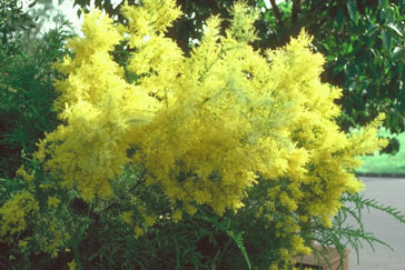Acacia boormanii in cultivation