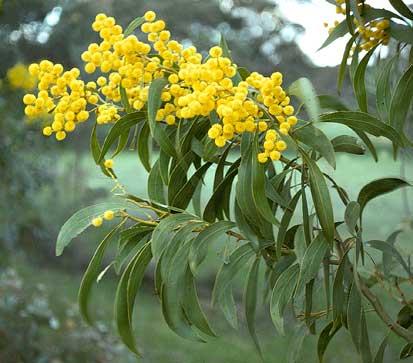 Australian Floral Emblem Acacia Pycnantha