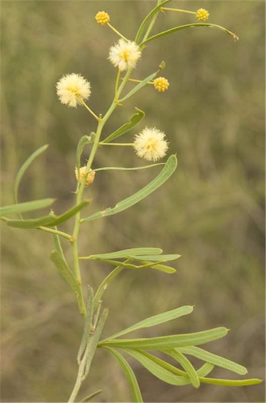 Factsheet Cuspidifolia