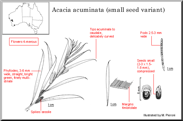 Acacia Acuminata Wattle