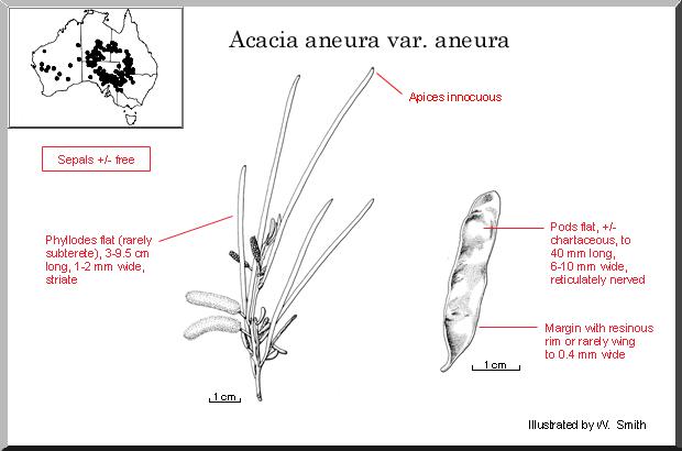 Acacia Aneura Wattle