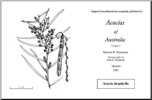 Acacia Iteaphylla Wattle
