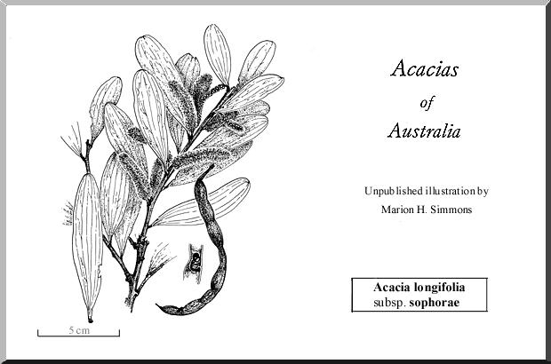 Acacia Longifolia Wattle