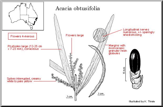 Acacia Obtusifolia Wattle