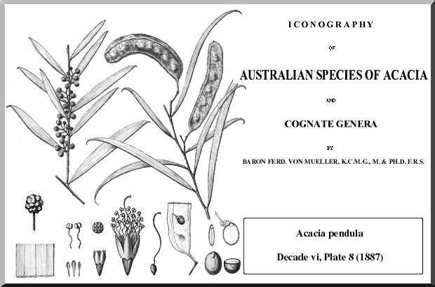 Acacia Pendula Wattle