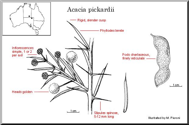 Acacia Pickardii Wattle