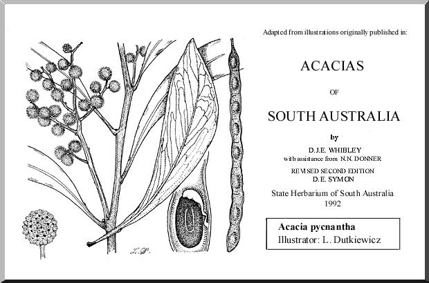 Acacia Pycnantha Wattle