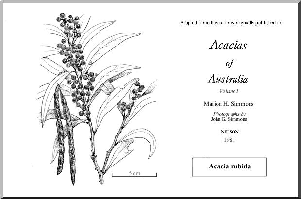 Acacia Rubida Wattle